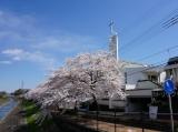 多摩教会と桜