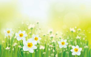 daffodil-clumps-dreams-background-57894